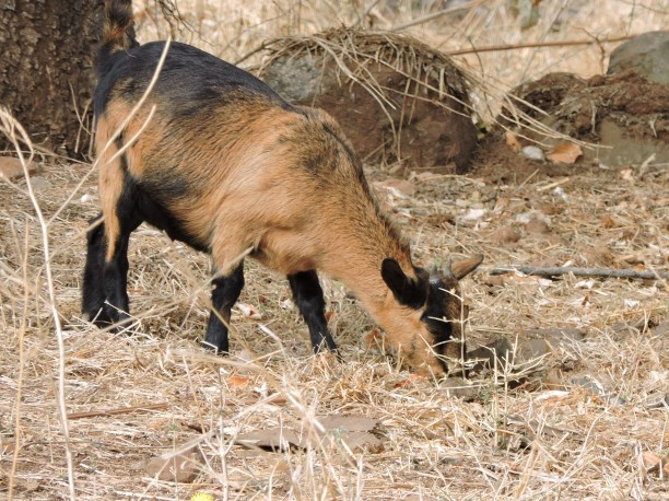 My goat Ian